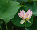 "65 - ""Lotus Blossom"" by Greg Pronevitz - Photograph - 8""x10"" - $99 matted and framed - contact gregp@parula.us"