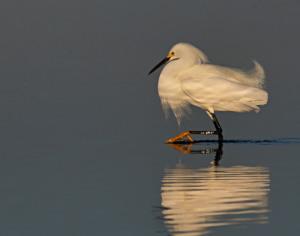 12B. Snowy Egret by Greg Pronevitz