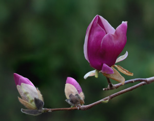 12A. Saucer Magnolia by Greg Pronevitz
